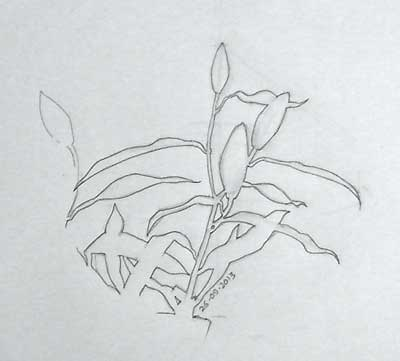 A simple negative space drawing of lily buds, from life.