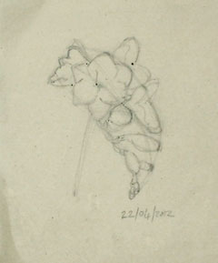 Re-drawing the freesia study the size it needs to be for the final composition.