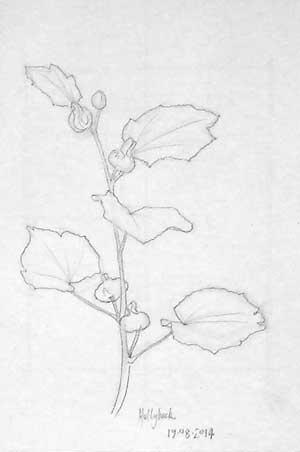 hollyhock drawing