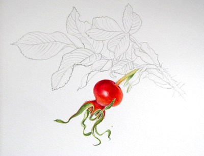 Rosehip painting by Shevaun Doherty