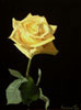 Yellow Rose Number Two